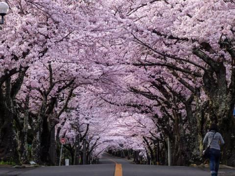 伊豆高原☆桜並木(イメージ)